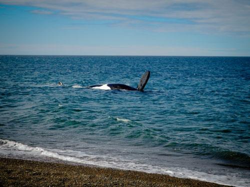 Léa et Lili font face à plusieurs baleines venues les accueillir à leur arrivée en Patagonie